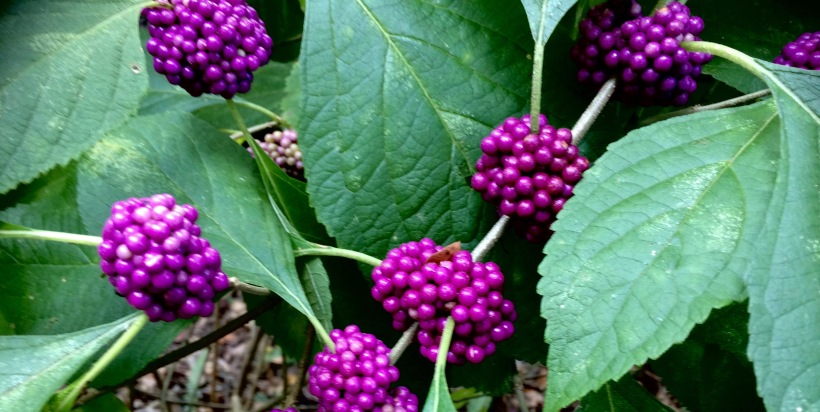 beautyberry-1