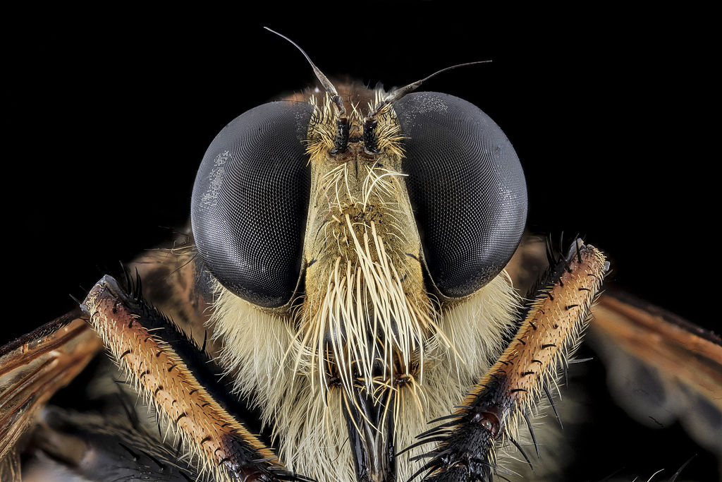 Robber_Fly,_Face,_Charles_County,_MD_2013-11-04-11.26.16_ZS_PMax_(10768695115)